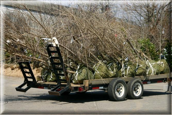 Young trees with root balls are ready for transplanting and loaded on a flatbed truck